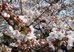Ханами - сезон любования цветущей сакурой в Японии